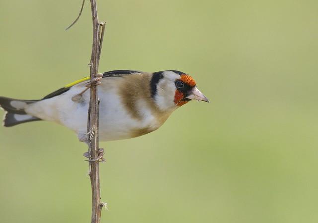 Acrobatic Goldfinch