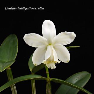 Cattleya loddigesii var. alba   by emmily1955