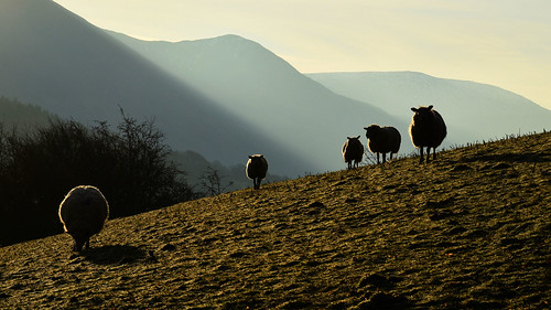 sheep ngc lakedistrict loweswater
