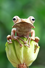 Eared tree frog