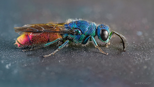 ruby-tailed wasp (goldwespe) | by Makrotreff