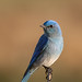 Perching Bluebird by Lodgepole