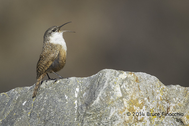 Canyon Wren Sings From The Cresent Of A Boulder