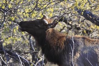 Elk Bull...   by randystrees