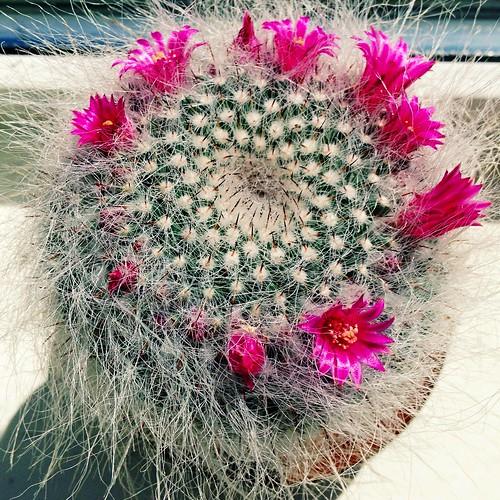 inexplore flower bloom indoor 2016onephotoeachday iphone5 pink