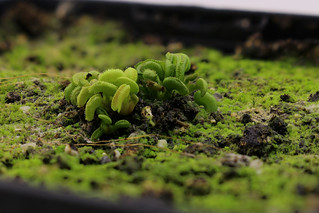 Dionaea muscipula 'cudo' | by andy.denker