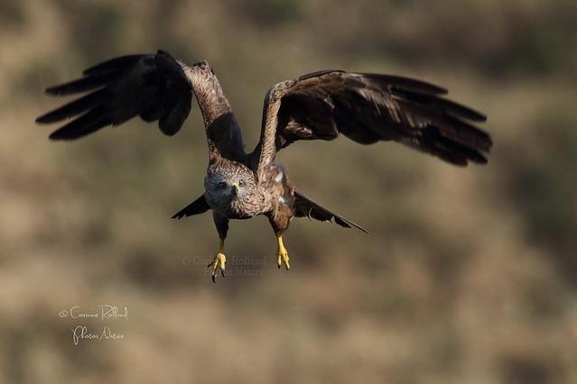 Aïda, Milan noir ( Milvus migrans ) Black Kite #1166