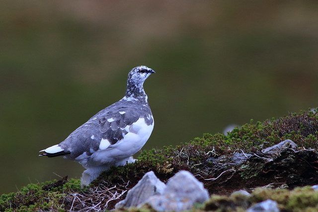 Winter is coming for the Ptarmigan