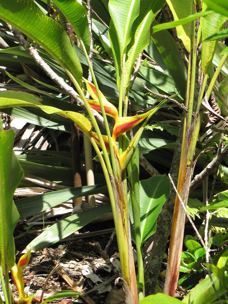 starr-120522-6151-Heliconia_bihai-cv_Kamehameha_flowering_habit-Iao_Tropical_Gardens_of_Maui-Maui