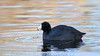 American Coot by Bill McBride Photography