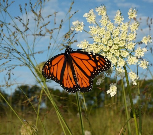 Monarch on queen annes lace | by U.S. Fish and Wildlife Service - Midwest Region