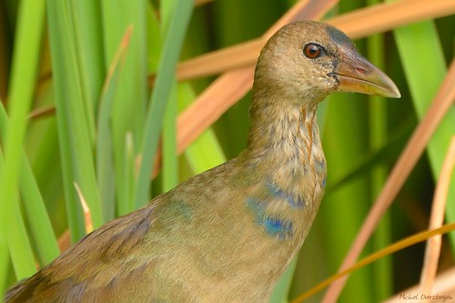 Purple Gallinule (Porphyrio martinicus) | by Michiel Oversteegen - amateur photographer