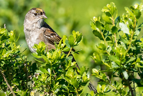 california nature birds northerncalifornia unitedstates sony alpha sanrafael autofocus goldencrownedsparrow lasgallinas sonyalpha sal70400g a77ii sonyilca77m2