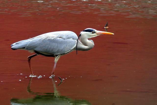 L1020265 Grey Heron