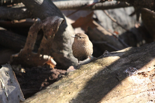 Winter Wren | by Birding In New Jersey