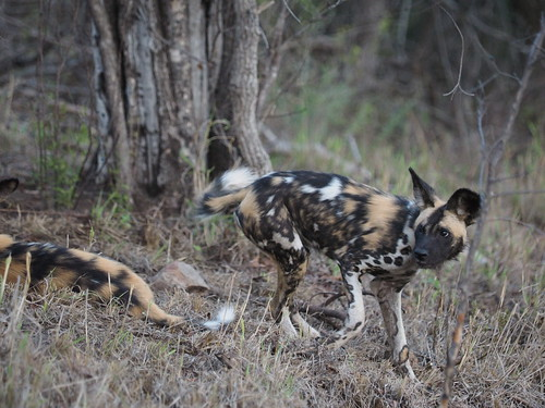 PC091279 African wild dogs | by Joanna P Dale