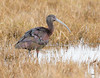 White-faced Ibis by rickdunlap2