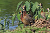 White-faced Whistling Duck, Lac Alarobia, Madagascar by Terathopius