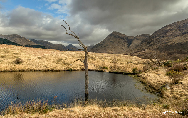 Isolated Lake Tree In Etive Valley ... Scotland