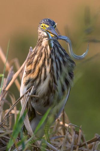 india nature indian birding kerala kol thrissur 2016 padam birdsofkerala