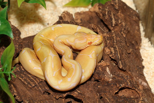 Royal Python   by The Reptilarium