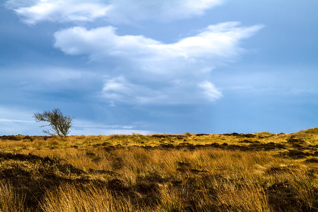 peaceful lone tree under strange cloud, grass moor at Sands of Forvie Nature Reserve, Aberdeenshire, Scotland