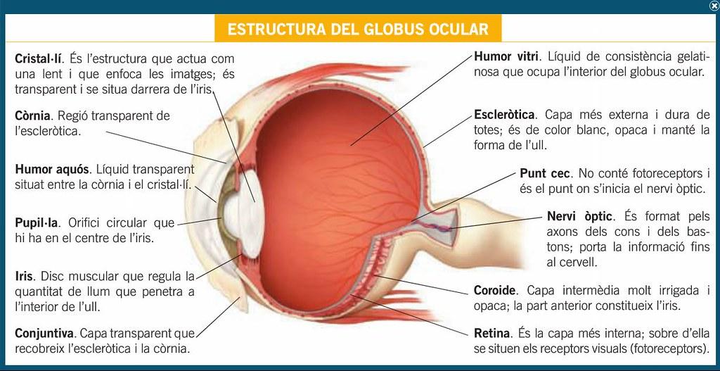 Estructura Del Globus Ocular Profe Josema Flickr