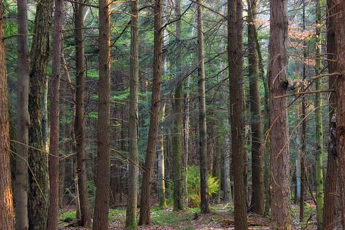 trees winter nature forest hiking pennsylvania creativecommons poconos coniferous headwaters waynecounty hemlocks tsugacanadensis easternhemlocks hemlockpalustrineforest westforklehighriver stategameland312 stategamelands312 sgl312