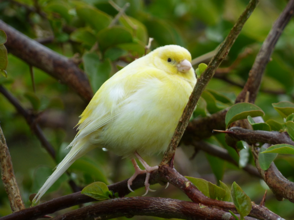 A puffy canary sitting on a small tree branch.