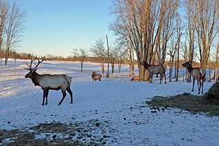 Elk Viewing Sleigh Ride - Thunder Bay Resort, Hillman MI | by Corvair Owner