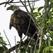 A bald eagle at Lake Apopka Wildlife Drive march 2016