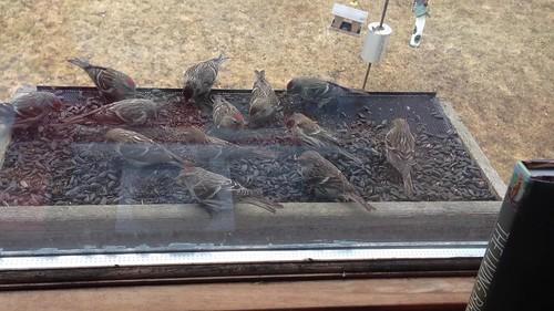 Common Redpolls at my window feeder