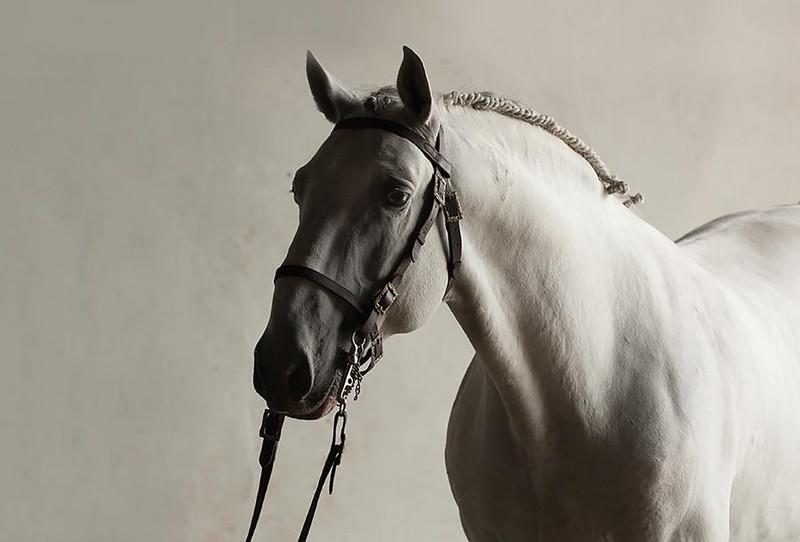 Lusitano - Horse Scanner