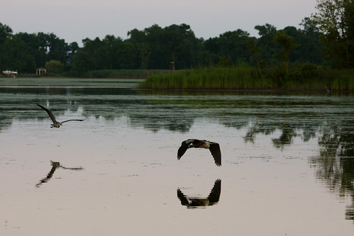herons | by Backwater Angler