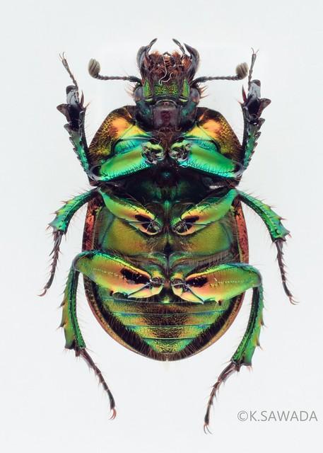 オオセンチコガネ名義タイプ亜種 Phelotrupes(Chromogeotrupes) auratus auratus (Motschulsky,1857) 富山県産-7腹面