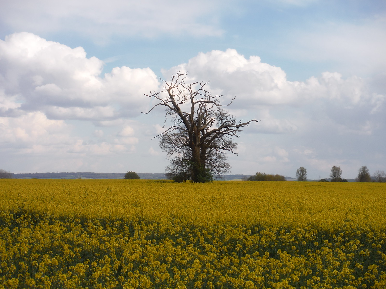 Lone Tree in Oilseed Rape Field SWC Walk 44 - Didcot Circular