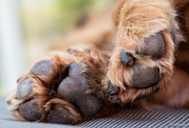 Pootjes van onze teckel Sjors. Feet of our dachshund Sjors