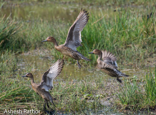 Northern pintail - females