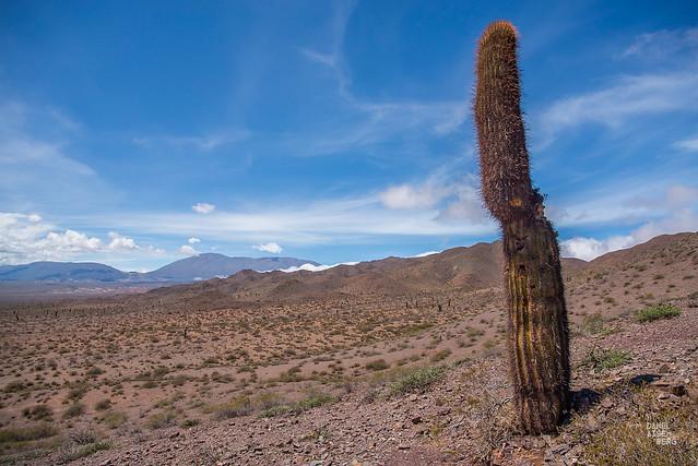 Un cardón perdido en el desierto #1xDía (068-366)