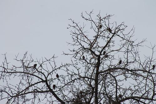 birds graycrownedrosyfinch leucostictetephrocotis birdsofwashington washingtonbirds