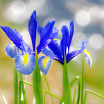Japanese Iris (Kakitsubata, Iris laevigata) : 杜若(カキツバタ)