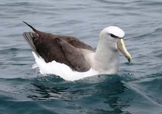 Salvin's Albatross , NGID1636182331 | by naturgucker.de