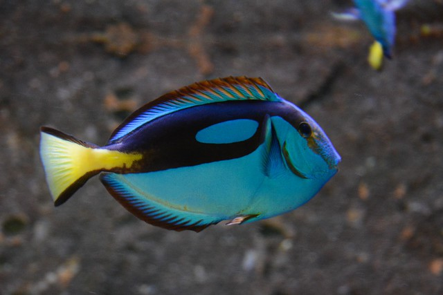 Palette Surgeonfish (Paracanthurus hepatus)