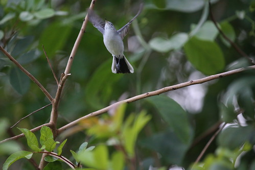 BLUE-GRAY GNATCATCHER | by cuatrok77