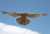 Greater Kestrel by Philip Fourie