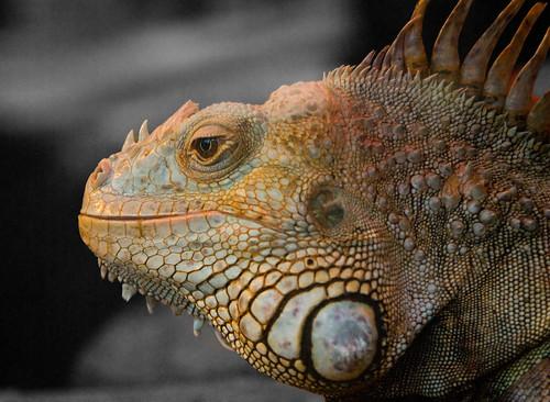 selective reptile   by Laenulfean