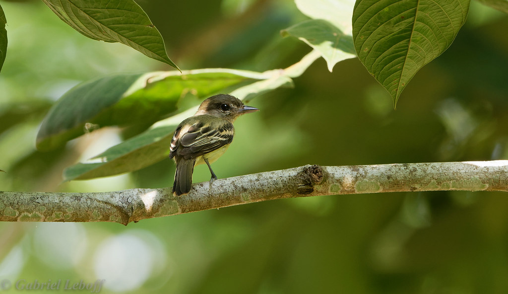 Olivaceous flatbill, Platyrhynque olivatre2342.jpg