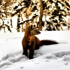 Watchful pine marten in the snow   on a very cold afternoon.  The Gunflint Trail area is one of the few places in Minnesota where you can see pine martens.  #bearskinlodge #gunflinttrail  #onlyinmn #pinemarten