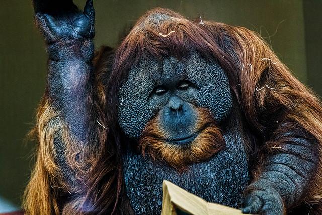 Sumatran Orangutan.jpg