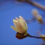 桃色風木蓮-1 Magnolia quinquepeta-1